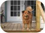 Labrador Retriever/Chow Chow Mix Dog for adoption in Bloomsburg, Pennsylvania - Bear