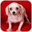 Photo 1 - Maltese Dog for adoption in Anna, Illinois - O'MELIA