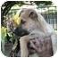 Photo 4 - German Shepherd Dog Mix Puppy for adoption in Poway, California - Sandy