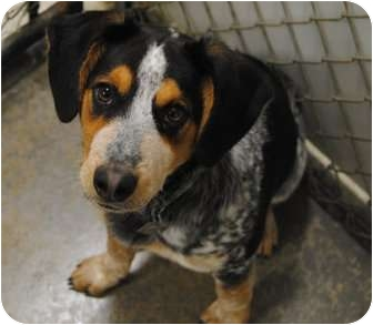 Australian Cattle Dog/Beagle Mix Dog for adoption in Freeport, Maine - Rocky Blue - In Maine