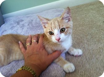 Domestic Shorthair Kitten for adoption in Dumfries, Virginia - Little Dexter