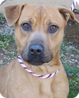 Boxer/American Pit Bull Terrier Mix Dog for adoption in Red Bluff, California - Abby-$45 Adoption Fee