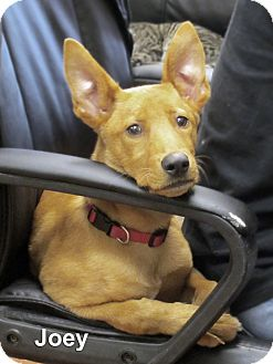 Pharaoh Hound Puppy for adoption in Sidney, Ohio - Joey