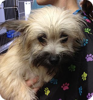 Cairn Terrier Mix Puppy for adoption in Fairview Heights, Illinois - Pickles