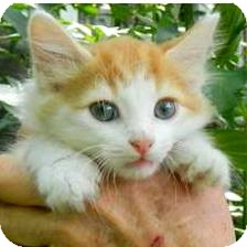 Maine Coon Kitten for adoption in Chattanooga, Tennessee - Jonas