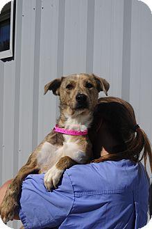 Italian Greyhound/Border Collie Mix Dog for adoption in Nashville, Tennessee - Autumn