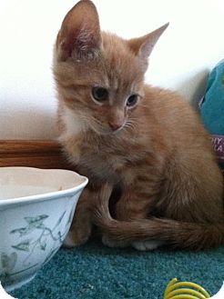 Domestic Shorthair Kitten for adoption in Trevose, Pennsylvania - Dorito and Viceroy