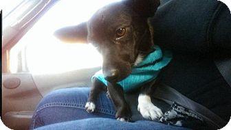 Chihuahua/Dachshund Mix Dog for adoption in Yakima, Washington - Scooter