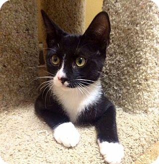 Domestic Shorthair Kitten for adoption in Pasadena, California - BENNY