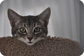 Domestic Shorthair Kitten for adoption in Encinitas, California - Gidget