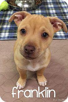 Labrador Retriever Mix Puppy for adoption in Concord, California - Franklin