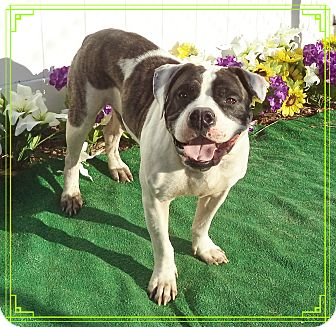 English Bulldog Mix Dog for adoption in Marietta, Georgia - BRUNO- also see KIMBER