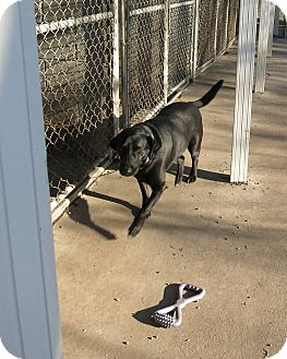 Labrador Retriever Mix Dog for adoption in Geneseo, Illinois - Roxie
