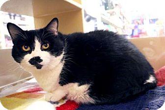 Domestic Shorthair Cat for adoption in Bellevue, Washington - e
