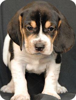 Beagle/Hound (Unknown Type) Mix Puppy for adoption in Newland, North Carolina - Scarlet Skye