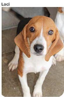 Beagle Mix Dog for adoption in Harleysville, Pennsylvania - Laci