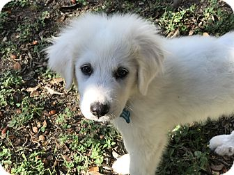 Great Pyrenees Mix Puppy for adoption in Austin, Texas - Camilla
