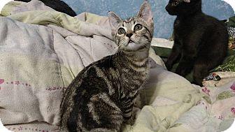Domestic Shorthair Kitten for adoption in Stafford, Virginia - Splash