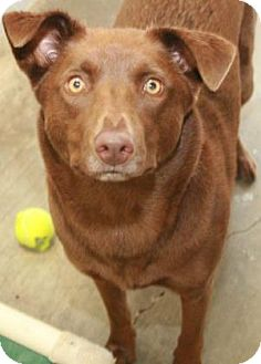 Labrador Retriever/Mixed Breed (Medium) Mix Dog for adoption in Philadelphia, Pennsylvania - Scooby