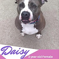 Adopt A Pet :: Daisy - North Kingstown, RI