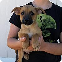 Adopt A Pet :: GIZMO'S PUPS C - Corona, CA