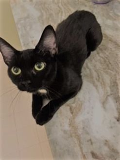 Domestic Shorthair Cat for adoption in Columbia, South Carolina - Pippa