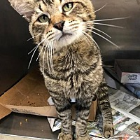 Domestic Shorthair Cat for adoption in Herndon, Virginia - Moses