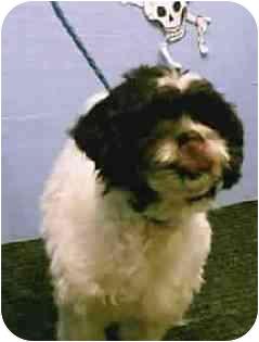 Shih Tzu Mix Dog for adoption in Westport, Connecticut - Nuno