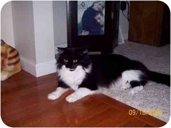 Maine Coon Cat for adoption in Rochester Hills, Michigan - Hemi