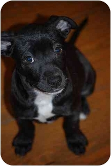 Terrier (Unknown Type, Small) Mix Puppy for adoption in Marion, Indiana - AVA