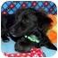 Photo 3 - Pomeranian/Dachshund Mix Puppy for adoption in Broomfield, Colorado - Tramp