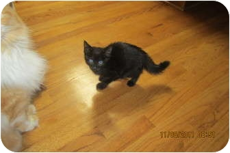 Domestic Shorthair Kitten for adoption in Sterling Hgts, Michigan - Beau