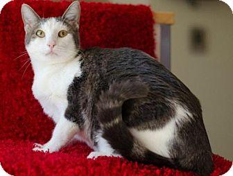 Domestic Shorthair Cat for adoption in Flower Mound, Texas - Elmer