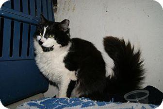 Domestic Longhair Cat for adoption in Trevose, Pennsylvania - Sydney
