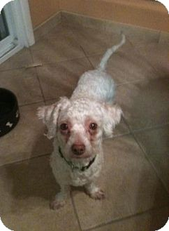 Poodle (Miniature)/Bichon Frise Mix Dog for adoption in Las Vegas, Nevada - Rudy / Chedder