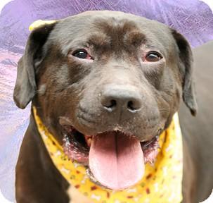 Pit Bull Terrier Mix Dog for adoption in Cincinnati, Ohio - Goliath
