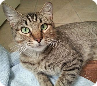 Domestic Shorthair Cat for adoption in Arlington/Ft Worth, Texas - Lucy