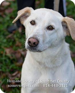 Labrador Retriever Mix Dog for adoption in Somerset, Pennsylvania - Poe