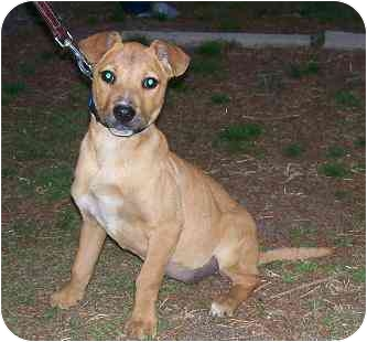 Dachshund/Boxer Mix Puppy for adoption in Hammonton, New Jersey - Diva