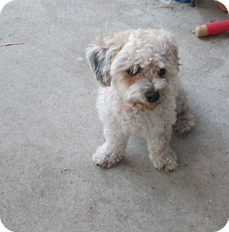 Poodle (Miniature) Mix Dog for adoption in Studio City, California - Ethel