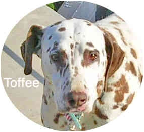 Dalmatian Dog for adoption in Mandeville Canyon, California - Toffee