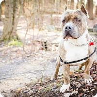 Adopt A Pet :: Big Boy - Tinton Falls, NJ