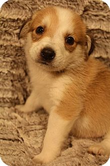 Husky/German Shepherd Dog Mix Puppy for adoption in Bedminster, New Jersey - Buckeye