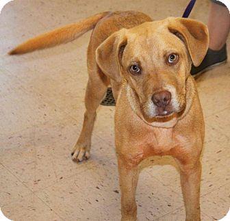 Labrador Retriever/Beagle Mix Dog for adoption in McDonough, Georgia - Miles