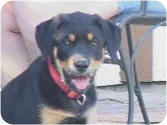 Rottweiler Mix Dog for adoption in Austin, Texas - Sheeba
