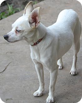 Chihuahua Dog for adoption in Allentown, Pennsylvania - Princess Penelope