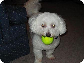 Bichon Frise Dog for adoption in Decatur, Georgia - Paducah