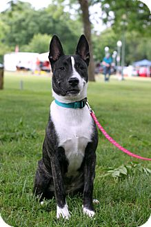 Cattle Dog/Jack Russell Terrier Mix Puppy for adoption in Dallas, Texas - SHELBY