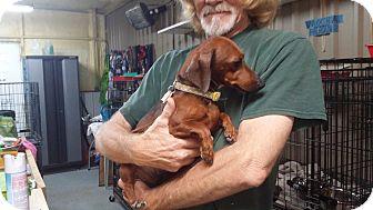 Dachshund Dog for adoption in Lubbock, Texas - MOCHA BEAN