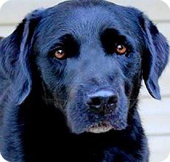 Labrador Retriever Dog for adoption in Winchester, Kentucky - JAX(WOW!!! GORGEOUS LAB!!